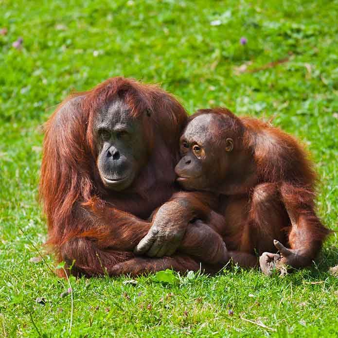 A couple of orangutan monkeys